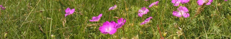 lista_02_frontispice_geranium_sanguineum-solanska_hora.jpg